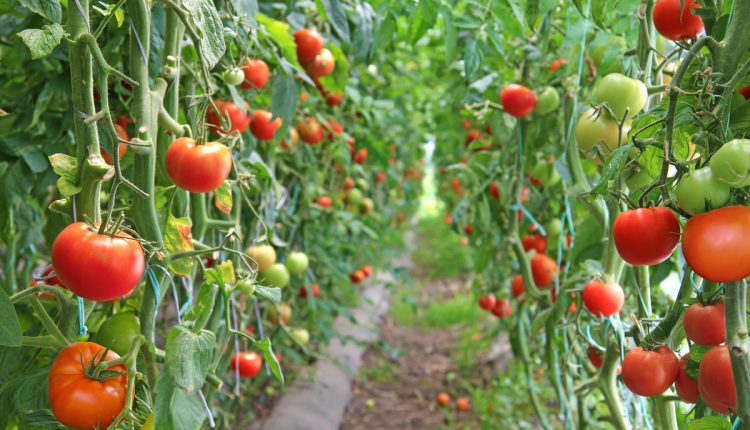 تولید محصولات کشاورزی در یزد ۱۰ درصد افزایش یافت