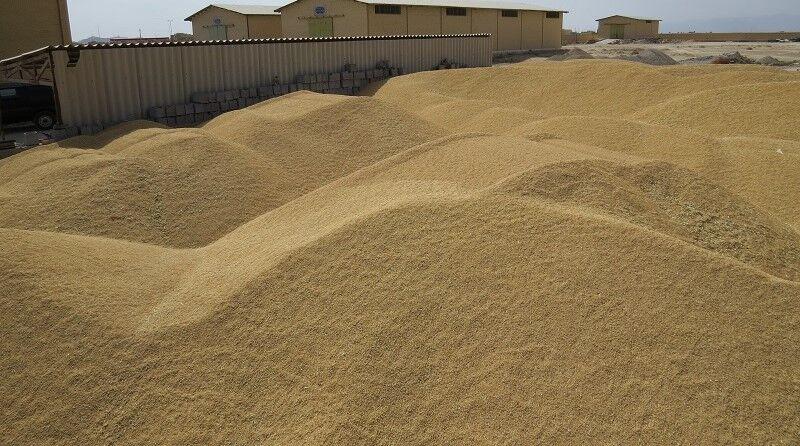 خرید تضمینی گندم از کشاورزان یزدی آغاز شد