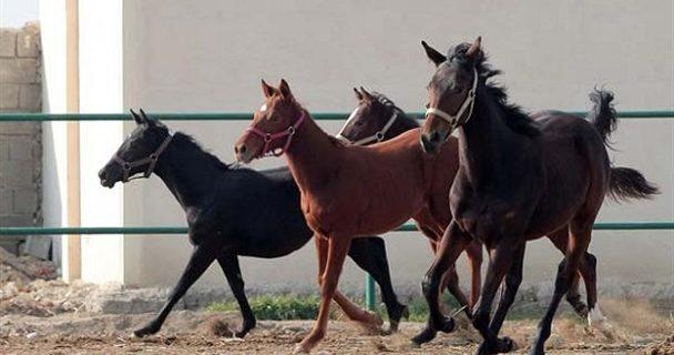 جاماندگی صنعت پولساز اسب از قافله توجه دولت!/ضربه واردات بیرویه و قاچاق به صنعت پرورش اسب در کنار کرونا
