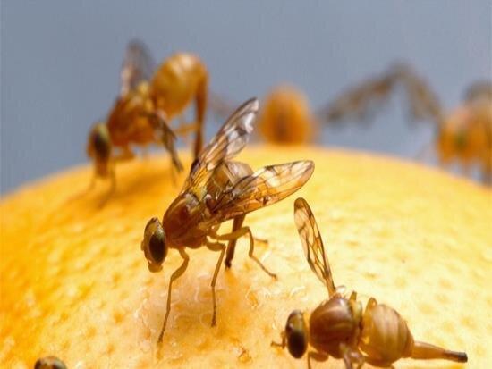 خسارت ۵ درصدی آفت مگس مدیترانه ای در یزد در سال گذشته