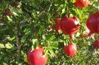 آغاز برداشت هفتصد تن انار از باغات بخش خضرآباد